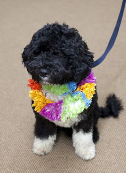 6 month old Bo, a Portuguese water dog (gift from Senator Kennedy)